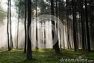 Vecchia foresta nebbiosa nebbiosa