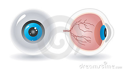 Vector anatomy of human eye
