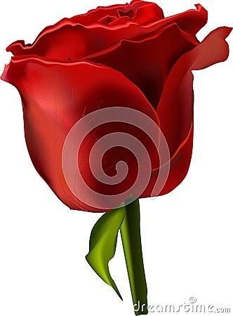Vector beautiful red rose