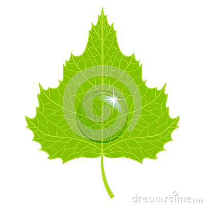 Vector birch leaf.