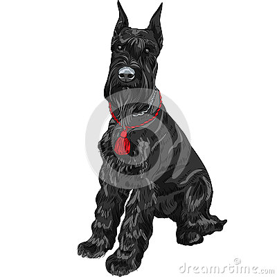 Dog breed Giant Schnauzer color black isolated in the white background ...