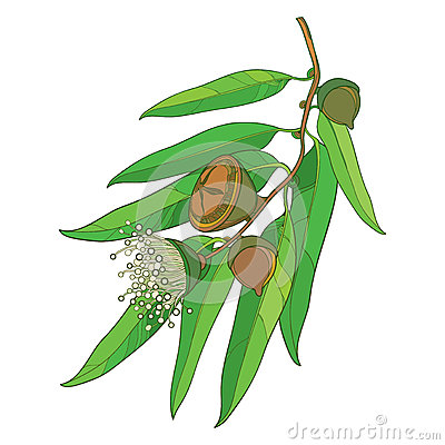 Free Vector Bunch With Outline Eucalyptus Globulus Or Tasmanian Blue Gum, Fruit, Flower And Green Leaves  On White Background. Royalty Free Stock Images - 92606979