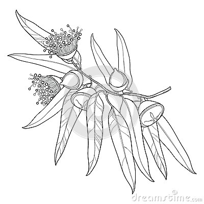 Free Vector Bunch With Outline Eucalyptus Globulus Or Tasmanian Blue Gum, Fruit, Flower, Leaves  On White Background. Royalty Free Stock Photography - 92607007