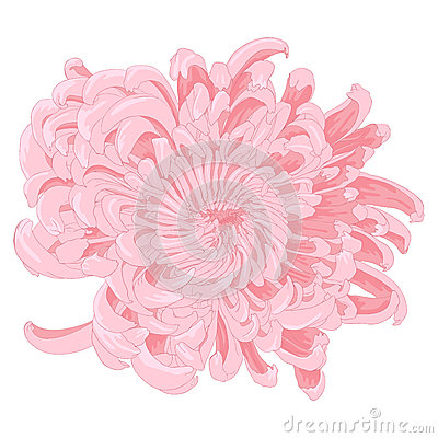 Vector chrysanthemum flower.