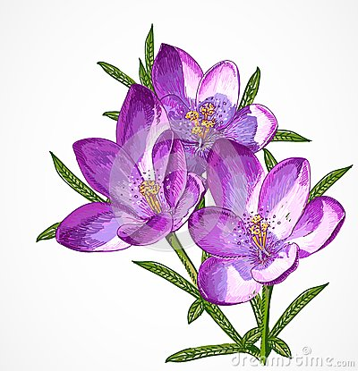 Free Vector Crocus Spring Flowers For Your Design. Stock Photo - 39537160