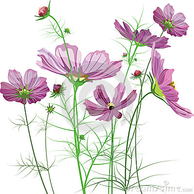 Free Vector Garden Flowers, Cosmos Bipinnatus Royalty Free Stock Photo - 26716915