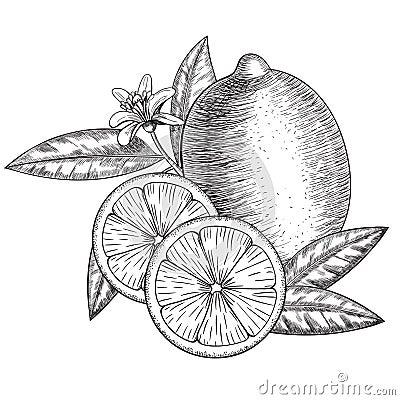 Vector hand drawn lime or lemon. Whole , sliced pieces half, leave sketch. Fruit engraved style illustration. Detailed Vector Illustration