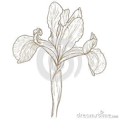 Vector iris.