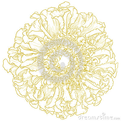 Vector marigold flower.