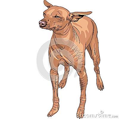 vector Mexican Hairless Dog Xoloitzcuintle breed