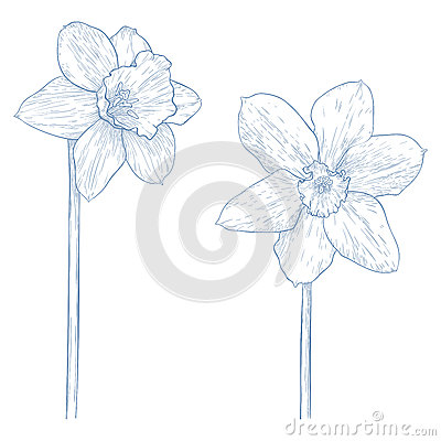Vector narcissus.