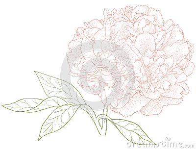 Vector peony flower.