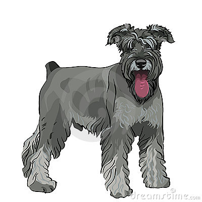 Vector Schnauzer dog with his tongue hanging out