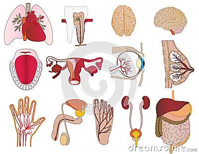 Vector a set of internal organs