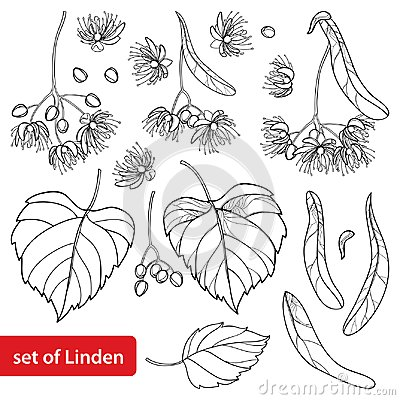 Free Vector Set With Outline Linden Or Tilia Or Basswood Flower Bunch, Bract, Fruit And Ornate Leaf In Black Isolated On White. Stock Photos - 112133753