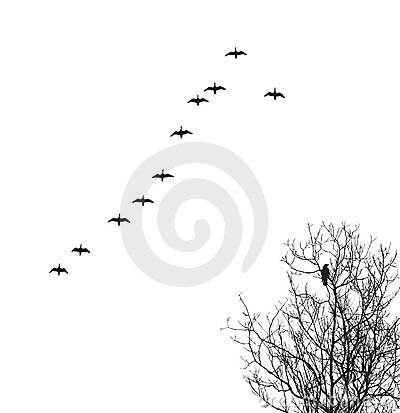 Vector silhouette geese