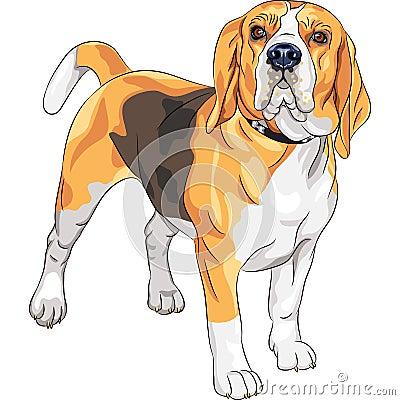 Vector sketch serious dog Beagle breed