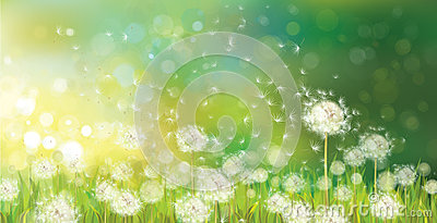 Vector of spring background with white dandelions. Vector Illustration