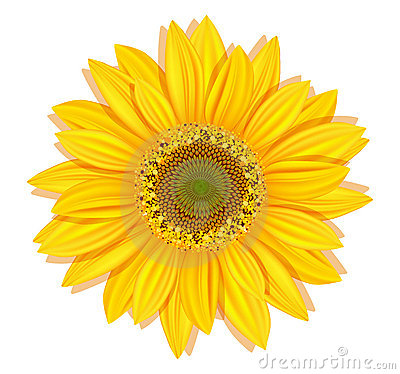 Free Vector Sunflowers On A White Background Royalty Free Stock Photos - 19047138