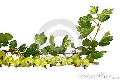 Veel goosenberry op een brunch met bladeren