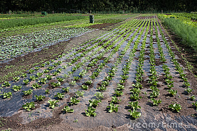 Vegetable farm