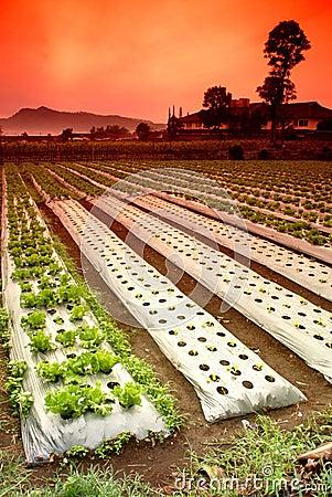 Vegetable Farm Fields