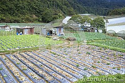 Vegetable Farming in Asia