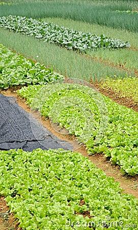 Vegetable field pattern
