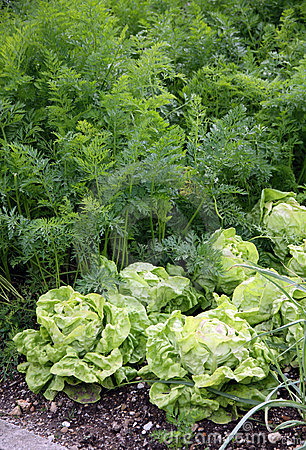 Vegetable garden bed with salad and carrots