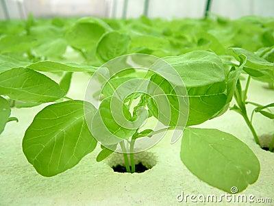 Vegetable, Hidroponia