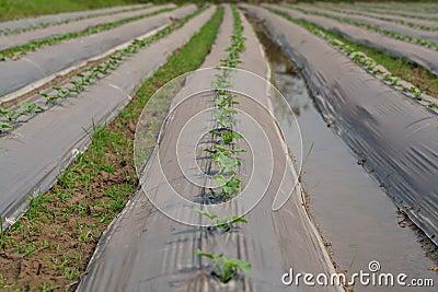 Vegetables cucumber