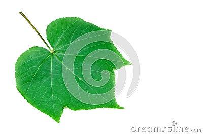 Veias da folha verde