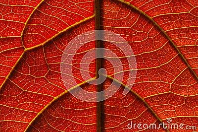 Veias de uma folha