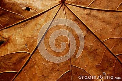 Veias desvanecidas da folha