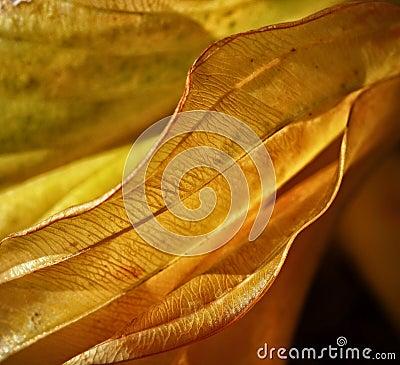 Veil yellow orange leaf Stock Photo