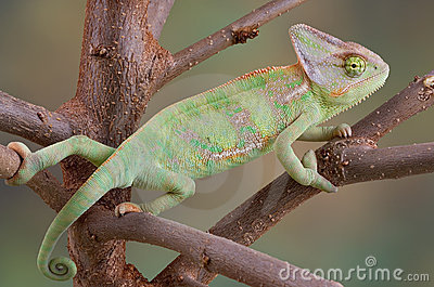 Veiled Chameleon in Tree