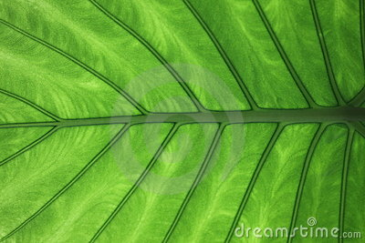Vein of leaf