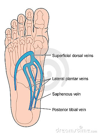Veins Of The Foot Stock Image - Image: 13175101
