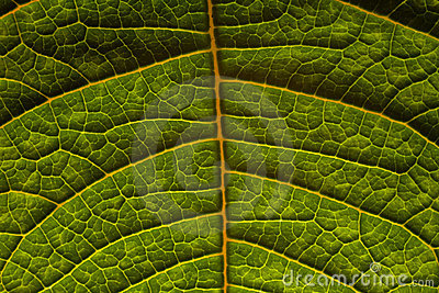 Veins on green leaf