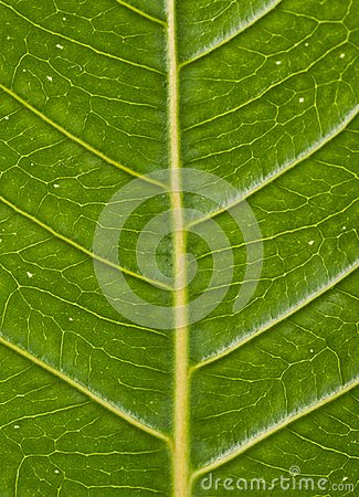Free Veins Of A Green Leaf Showing Angles Royalty Free Stock Photos - 118267158