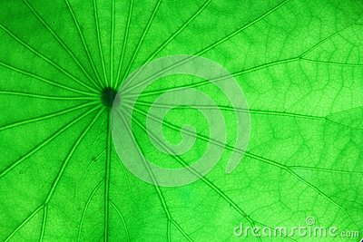 Veins of the water pennywort