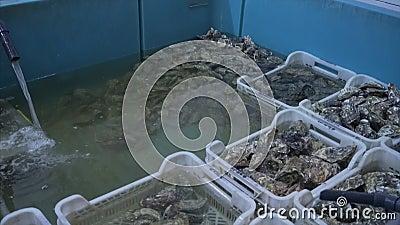 Vele hoogwaardige verse oesters van verschillende grootte op de markt voor zeevruchten stock videobeelden