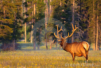 Velvet Antlers in Golden Light
