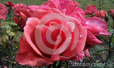 Velvet pink rose with dew drop