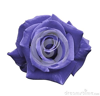 Free Velvet Violet Rose On A White Isolated Background With Clipping Path.  No Shadows. Closeup. For Design, Texture, Borders, Frame, B Royalty Free Stock Images - 106401419