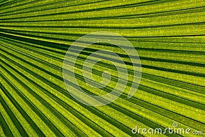 Venation ладони листьев