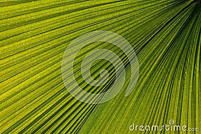 Venation en feuille de palmier