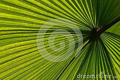 Venation van het palmblad