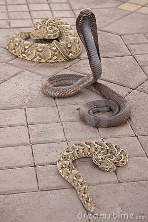 Venomous snakes on pavement