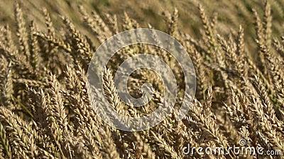Vento em campos de trigo dourado maduros, movimento de orelhas ao vento vídeos de arquivo